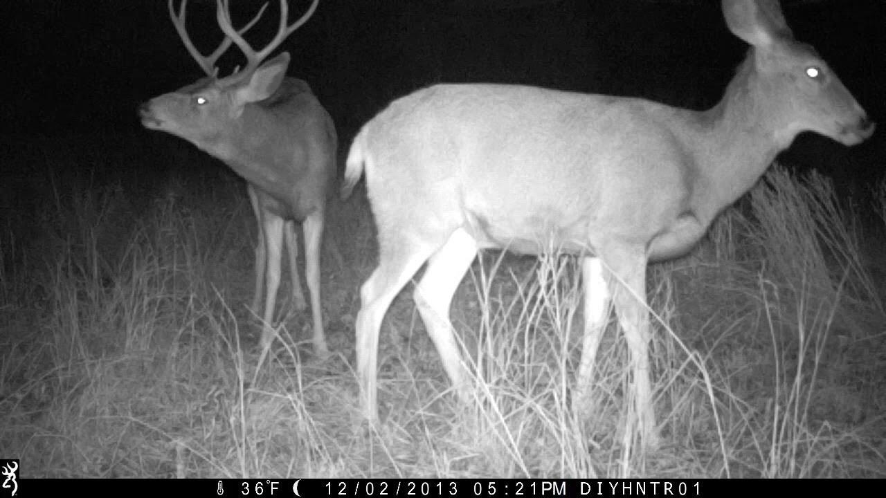 Mule Deer Bucks Following a Doe In Heat on a Browning Trail Camera