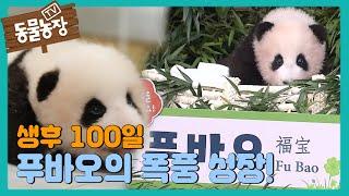 ☆화제의 중심★ 생후 100일을 맞이한 아기 판다 '푸바오' I TV동물농장 (Animal Farm) | S…
