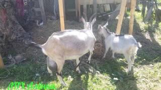 КОЗА. /КАК КУПИТЬ КОЗУ ! /На что обратить внимание./ Чему верить и не верить при покупки козы./