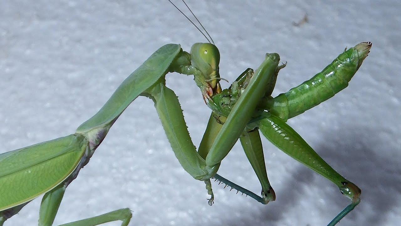 Praying Mantis Eating Grasshopper | Mantis VS Katydid ...