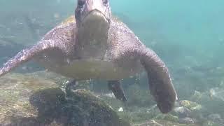 Galapagos Green Turtles - glide, grub, sex