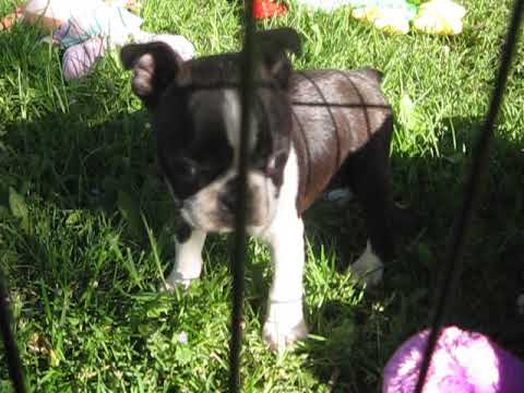 AKC Champion sired Boston Terrier Puppies Sparkle X Ch General Lee 6 1/2  weeks old