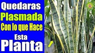Como le Llaman a Esta Planta en tu Pais? Una Sola Hoja es un tesoro! Su Beneficio Quedaras Plasmado