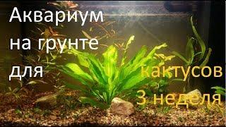 Аквариум на грунте для кактусов(третья неделя)
