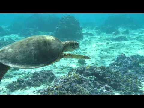 Green Sea Turtle Midway Atoll Snorkeling
