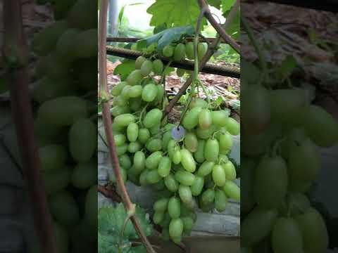 Сорт Крайнова «Юбилей Новочеркасска», гибридная форма винограда. 2019г.