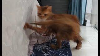 濡れた尻尾にじゃれて回転するシャンプー後の茶色猫
