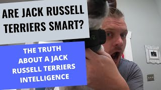Are Jack Russell Terrier's Smart? : Examples of A Jack Russell's IQ and Intelligence
