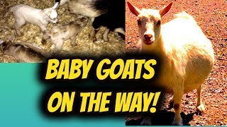 Baby Goats on the Way!