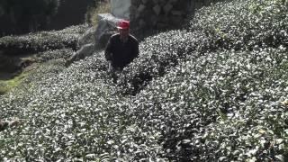 Tea cultivator 征服阿里山系列五 Conquered Taiwan Alishan tea plantation (altitude 1,200~1,400 m) 中耕機