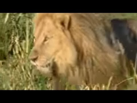 King lions establish new pride - BBC wildlife