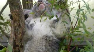 東松山こども動物公園のコアラです。動物園で生まれた子だそうですよ。