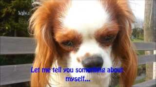 Cavalier King Charles Spaniel *bali* - I'm All Grown Up Now