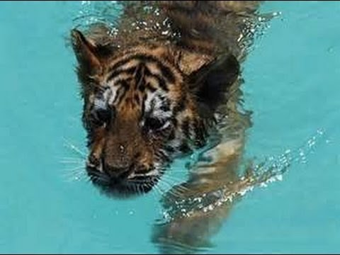 Tiger Live Wallpaper Hd Watch Tiger Cubs Take Swimming Test At Smithsonian