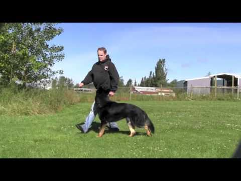 Crisp and precise German Shepherd obedience