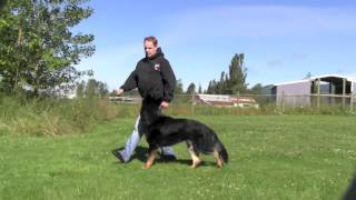 Crisp And Precise German Shepherd Obedience