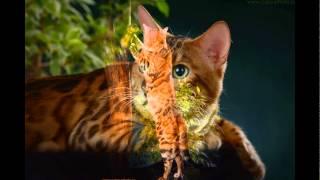 Бенгальские кошки. Питомник Amaty Cay г. Новосибирск