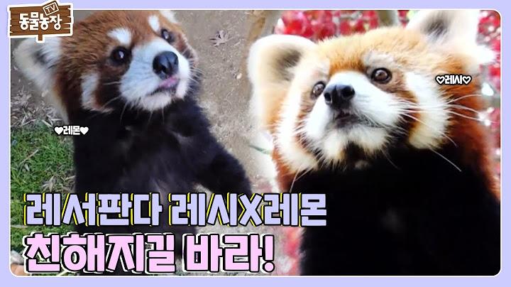 얼굴은 세상 귀요미인데... 달라도 너무 다른 레서판다 레시X레몬 모음집🧡 I TV동물농장 (Animal Farm) | SBS Story