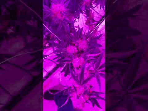 Seven Leaves Indoor Facility 1, LED Lights