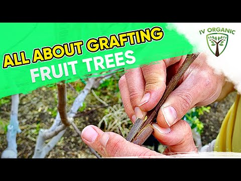 How (&Why) To GRAFT FRUIT TREES   Figs, Apples, Citrus, Stone Fruit+