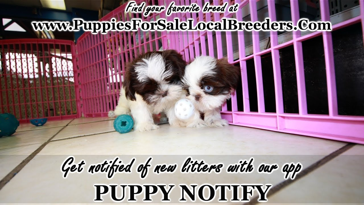 Chocolate Shih Tzu Puppies For Sale Georgia Local Breeders Near