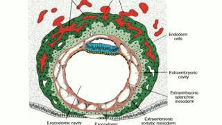 Summary Of Chorionic Villus In Embryology
