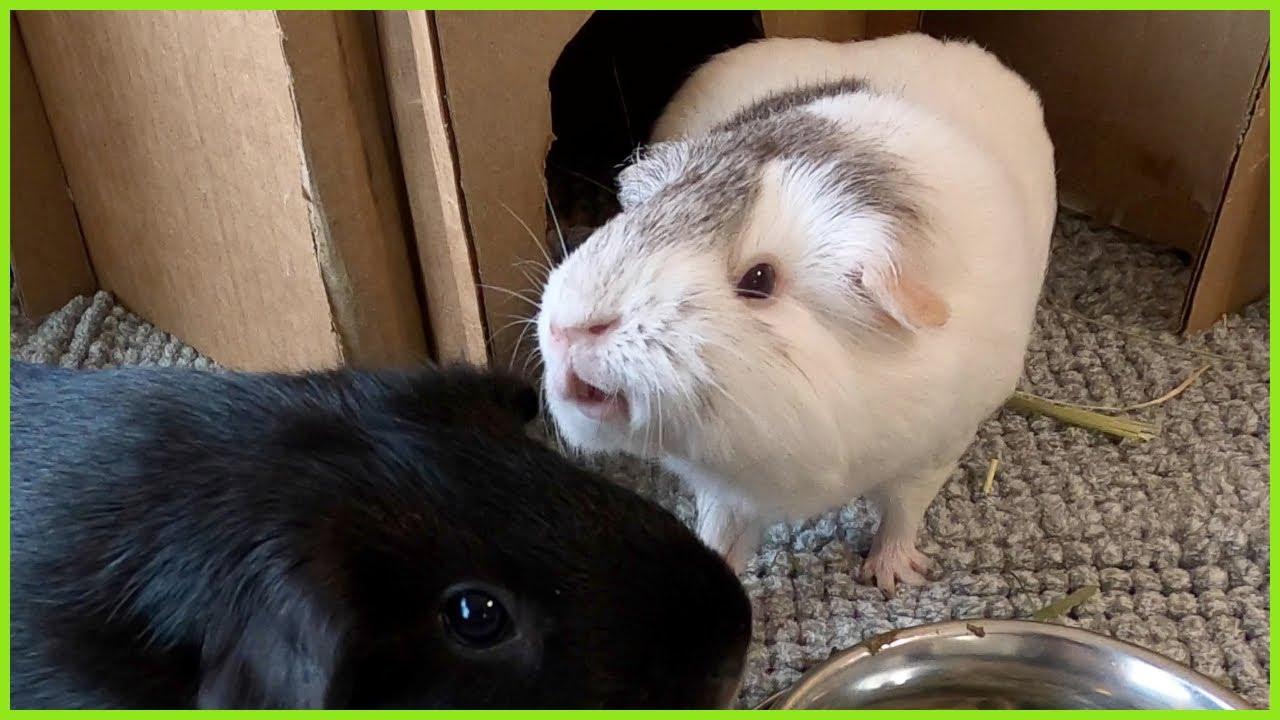 Guinea pig sneezes in her friend's ear