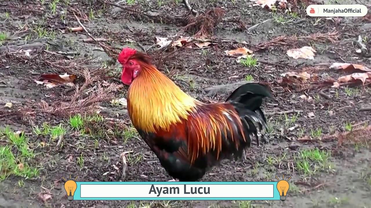 Unduh 76 Gambar Ayam Lucu Bikin Ngakak Terupdate Gambar Lucu