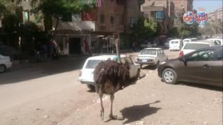 أخبار اليوم   النعام يتجول في الشوارع بمنطقة فيصل
