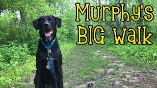 First Big Walk of the Pandemic | Labrador Retriever / German Shorthaired Pointer Mix