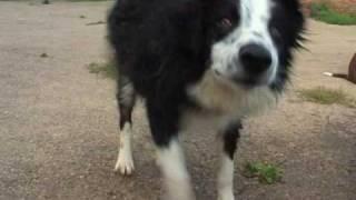 Border Collies Amazing Dogs Play In Water Sheepdog Cute Puppy Splashing Wet Dvd Movie Trailer