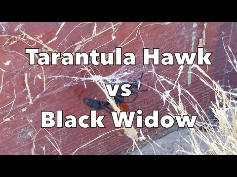Tarantula Hawk vs Black Widow