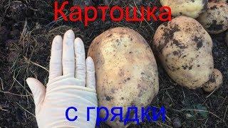 Картошка с грядки. Первый опыт посадки картофеля