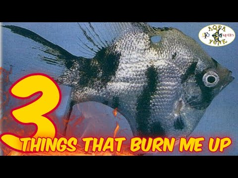 3 THINGS ANGELFISH BREEDERS DO THAT BURN ME UP