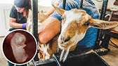 Breeding our MINIATURE goat (with Artificial Insemination)