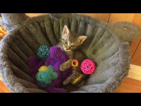 Tiniest Little Kitten Pepper has ALL the Toys :D