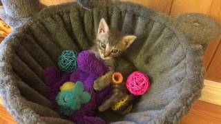 Tiniest Little Kitten Pepper has ALL the Toys :D
