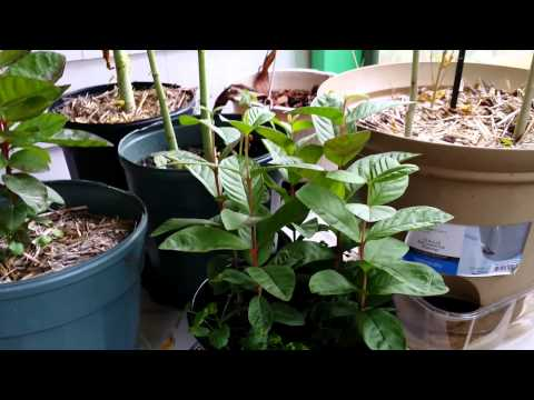 Guava Seedlings A Tropical Plants, Climate Experimentation...