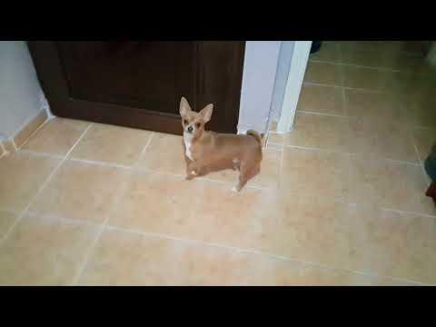 Sevimli Köpeğim Badi Kötülere Karşı Her An Tetikte  (Dog Chihuahua Buddy Şivava)