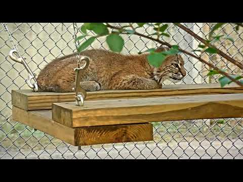 Bobcat Rehab Intensive Care Cam 03-20-2018 15:24:43 - 16:24:43