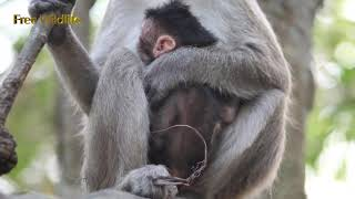 The new baby monkey is so cute, this mother and baby have no name