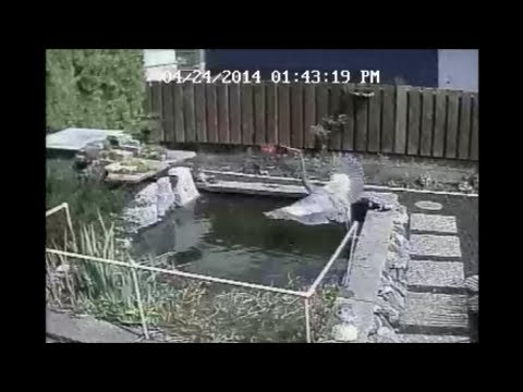 Pond protection with fishing line doovi for Fish pond protection