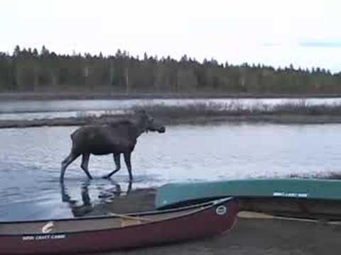 Jack Mountain Bushcraft Journal 18 - Moose On The Allagash