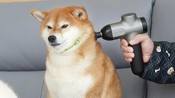 마사지건 처음 써본 강아지 반응 ㅋㅋ