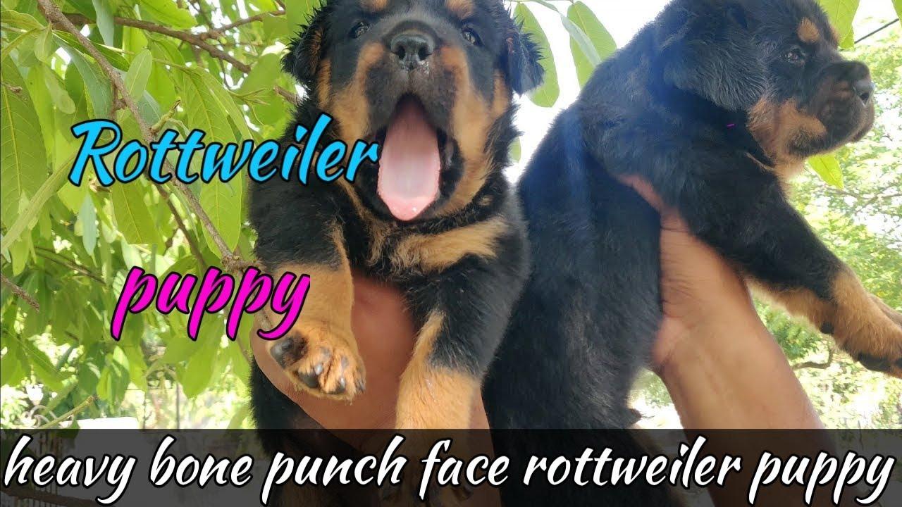 Scoobers Boxer Dog Female For Sale Bhola Shola Boxer Dog Breed Boxer Puppy For Sale Youtube