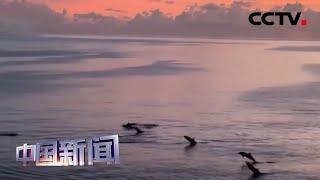 [中国新闻] 南海科考偶遇成群海豚 画面美不胜收 | CCTV中文国际