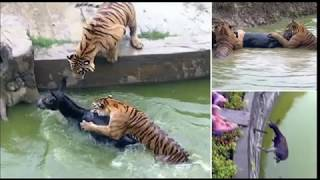 Tiger are feed with a live Donkey at Chinese Zoo