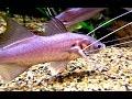 スレッドフィンパラダイス Pradisethreadfin Polynemus multifilis