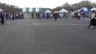2013/12/15 西日本コリー、シェルティ特別展覧会 【兵庫】 G-CHグループ.