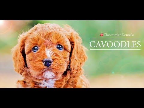 Cavoodle Puppies from Chevromist Kennels